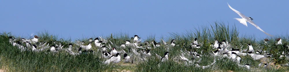 Terns on the shingle at Blakeney Point