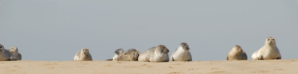 Seals on the Sand at Blakeney Point