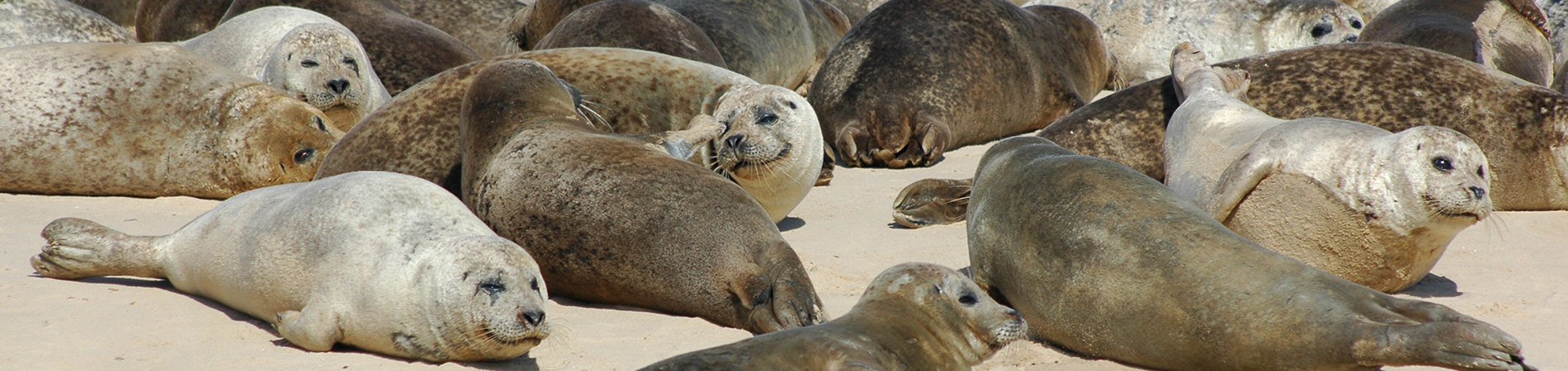 Common Seals hauled out on Blakeney Point