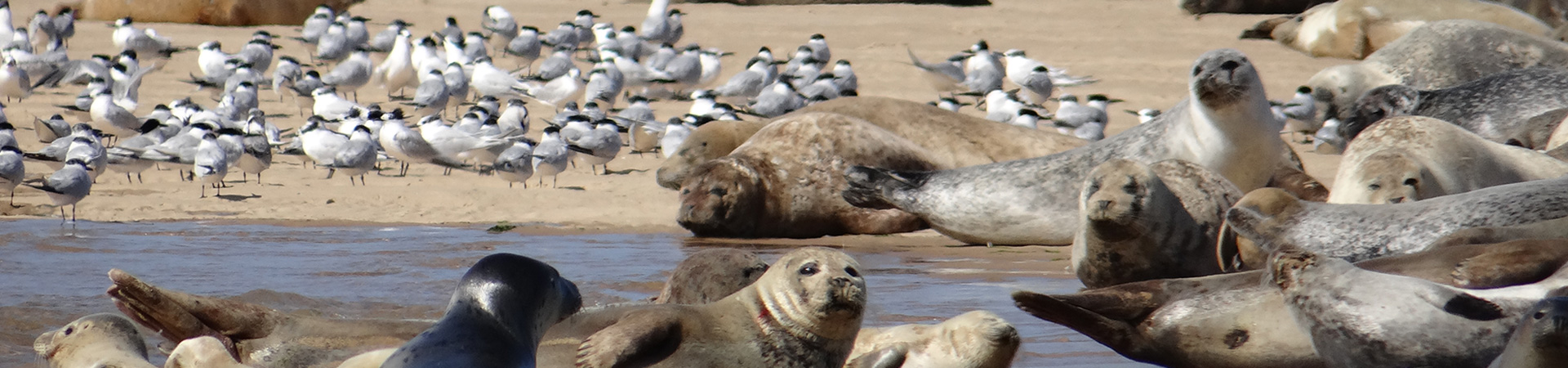 Seals and Terns at Blakeney Point