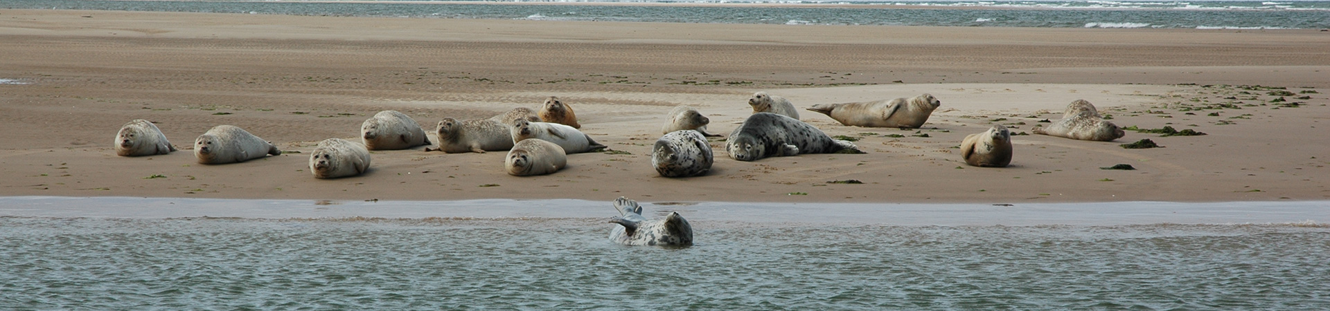 Common Seals and Grey Seals hauled out on the West Sands at Blakeney Point