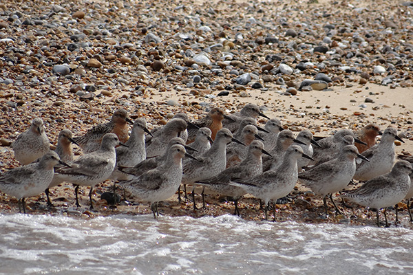 A flock of Dunlin on the shore line