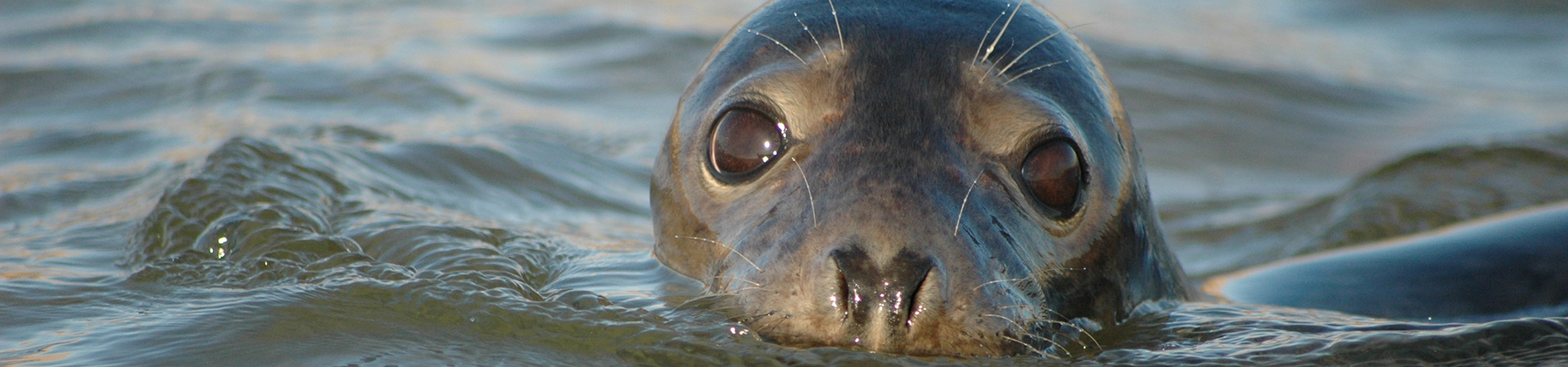 Young Grey Seal in the water